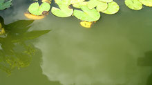 pond with green water