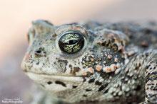 Augen-Details der Kreuzkröte