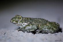 Wechselkröte, angeleuchtet mit einer Stirnlampe