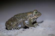 Kreuzkröte, angeleuchtet mit einer Stirnlampe