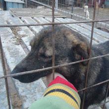 Hunde vom PS ADJUD ⏰~2013 📐~35+cm