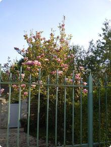 Magnolia - Aumont