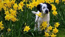 un jeune chien setter blanc tacheté de noir dans un champ de narcisse par coach canin 16 éducateur canin en charente