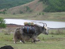 Logistique portage a cheval ou a dos de yack