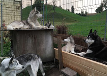"""Rainey, Eagle (in der Hütte), Yukon, Amarok (hinter der Hütte), Ice und Merkur beim """"Fernseh"""" schauen"""
