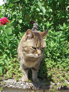 eine grau getigerte Katze zwischen grünen Pflanzen und einer roten Pfingstrose