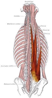 腰痛予防の筋肉