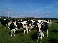 Jungvieh vor Rheinbrücke