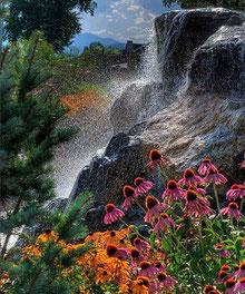 Echinacée - Echinacea purpurea