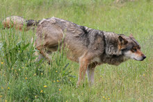 Wolf markiert sein Revier (Gehegeaufnahme, Dänemark 2012), Foto: Bodo Rudolph