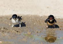Mehlschwalbe (links) und Rauchschwalbe (rechts). Nur selten sieht man unsere beiden häufigsten Schwalbenarten am Boden. Meist jagen sie nach Insekten in der Luft.