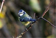Blaumeise (Foto:T.Munk)