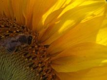 Pollen für leckeren Honig sammeln...