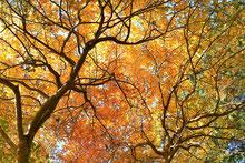 樹木図鑑 ヤマコウバシ