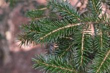 常緑針葉樹,種類