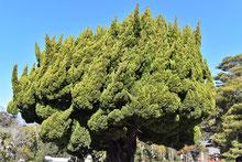 常緑針葉樹,リスト