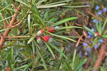 針葉樹,種類