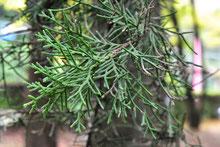 常緑針葉樹,一覧