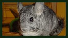 Chinchilla Meerschweinchen Gehege Nagarium Käfig Vivarium Nager Kaninchen Mäuse Maus Hamster Zwerghamster Zwergkaninchen Farbmaus Rennmaus