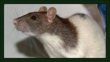 Ratte Meerschweinchen Gehege Nagarium Käfig Vivarium Nager Kaninchen Mäuse Maus Hamster Zwerghamster Zwergkaninchen Farbmaus Rennmaus