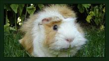 Meerschweinchen Gehege Nagarium Käfig Vivarium Nager Kaninchen Mäuse Maus Hamster Zwerghamster Zwergkaninchen Farbmaus Rennmaus
