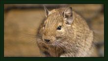 Degu Gehege Nagarium Käfig Vivarium Nager Kaninchen Mäuse Maus Hamster Zwerghamster Zwergkaninchen Farbmaus Rennmaus