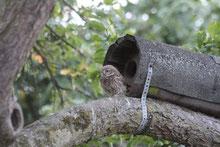Steinkauz vor seiner Röhre (Photo Claudia Reimer)