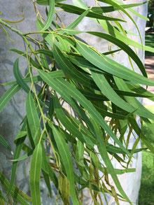 Huile essentielle d'Eucalyptus citronné -Eucalyptus citriodora