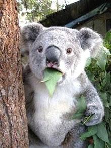 コアラだって飽きる