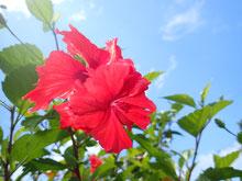 石垣島でのんびりダイビング「ショップ庭ハイビスカス」