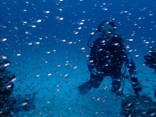石垣島でのんびりダイビング「スカシテンジュクダイの群れ」