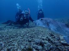 石垣島での隠微梨ダイビング!フグと泳ぐ