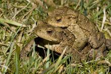 Erdkröten-Männchen lassen sich von den Weibchen zum Laichgewässer tragen