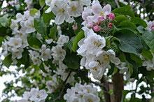 Apfelbaum in Blüte - Foto: Kaden