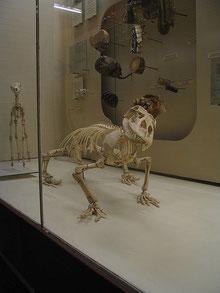 Skelett eines Komodowarans (V. komodoensis)