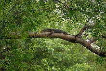 Bindenwaran (V. salvator) auf einem Baum