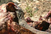 Ein semiadulter Komodowaran (V. komodoensis) frisst am Kadaver eines Wasserbüffels