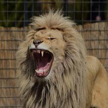Der König der Tiere als Foltermethode