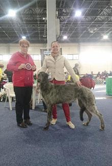 Von Alshamina-erfolgreiche Deerhounds aus Deutschland! Von Zeit zu Zeit haben wir vielversprechende Deerhound Welpen aus liebevoller Familienaufzucht!