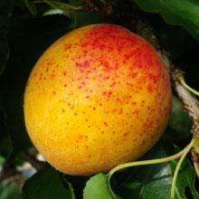 abricot bergeron-bendola