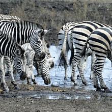 Oh, diese Zebras habe ich wohl falsch zusammen gesetzt