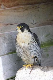 Erster Vogel des Jahres: der Wanderfalke Fotot: R. Bellstedt