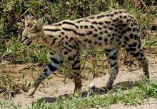 Servals and Caracals