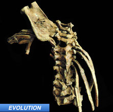 Australopithecine Toddler Gives Insight Into Spinal Evolution