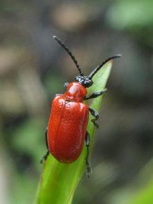 Lily beetle Lilioceris lilii ...