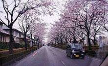 帰宅路の桜トンネル