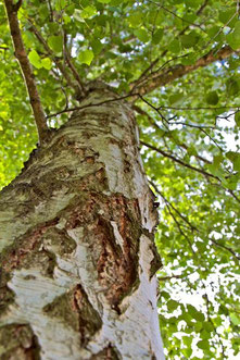 betula alba - berlin, germany | 2013