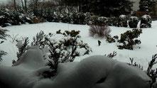 Blick durch meinem Küchenfenster in meinen Garten vom Montag den 25.02.2013 um 12:27 Uhr. Über Nacht von So. auf Mo. wieder Schneefall. Bis zu 20 cm beträgt die Naturschneedecke. Temperatur +2°C.