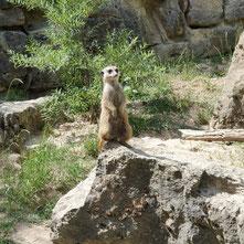 Erdmännchen im Opel Zoo