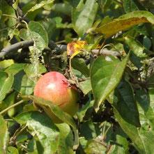 12tel Apfel